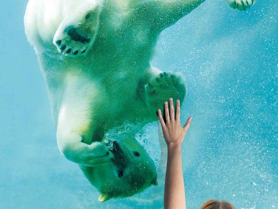 swimming polar bear at Rotterdam Zoo
