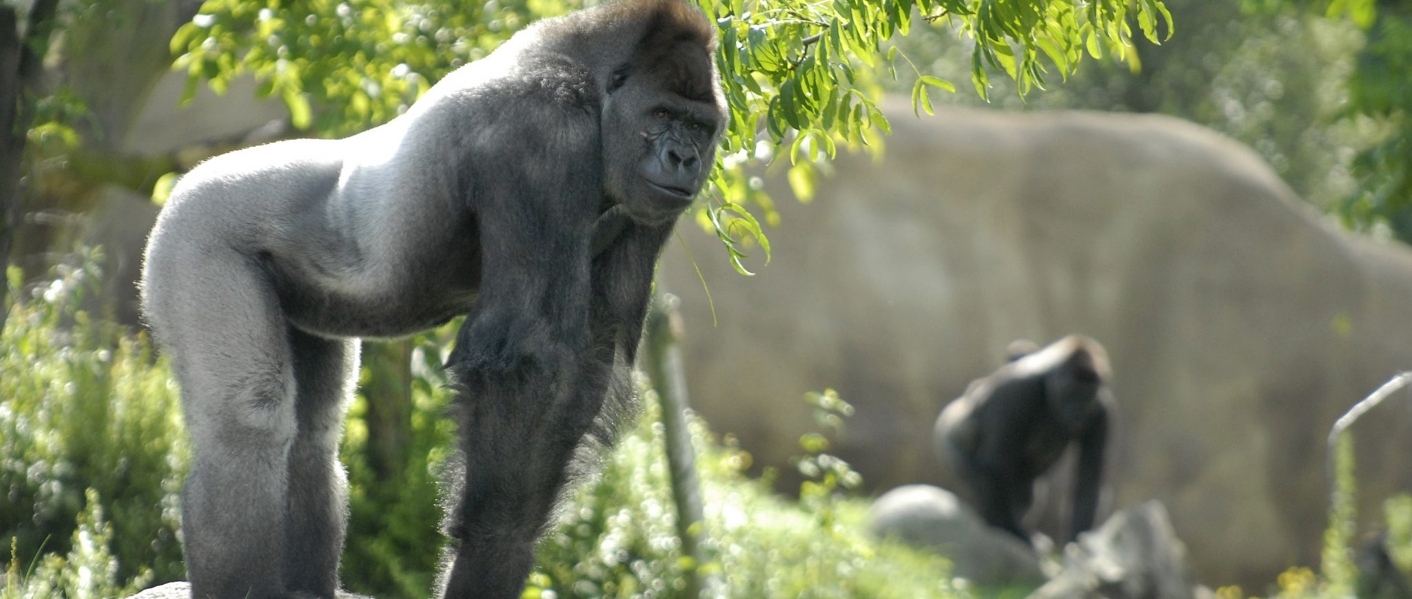 Gorilla Bokito