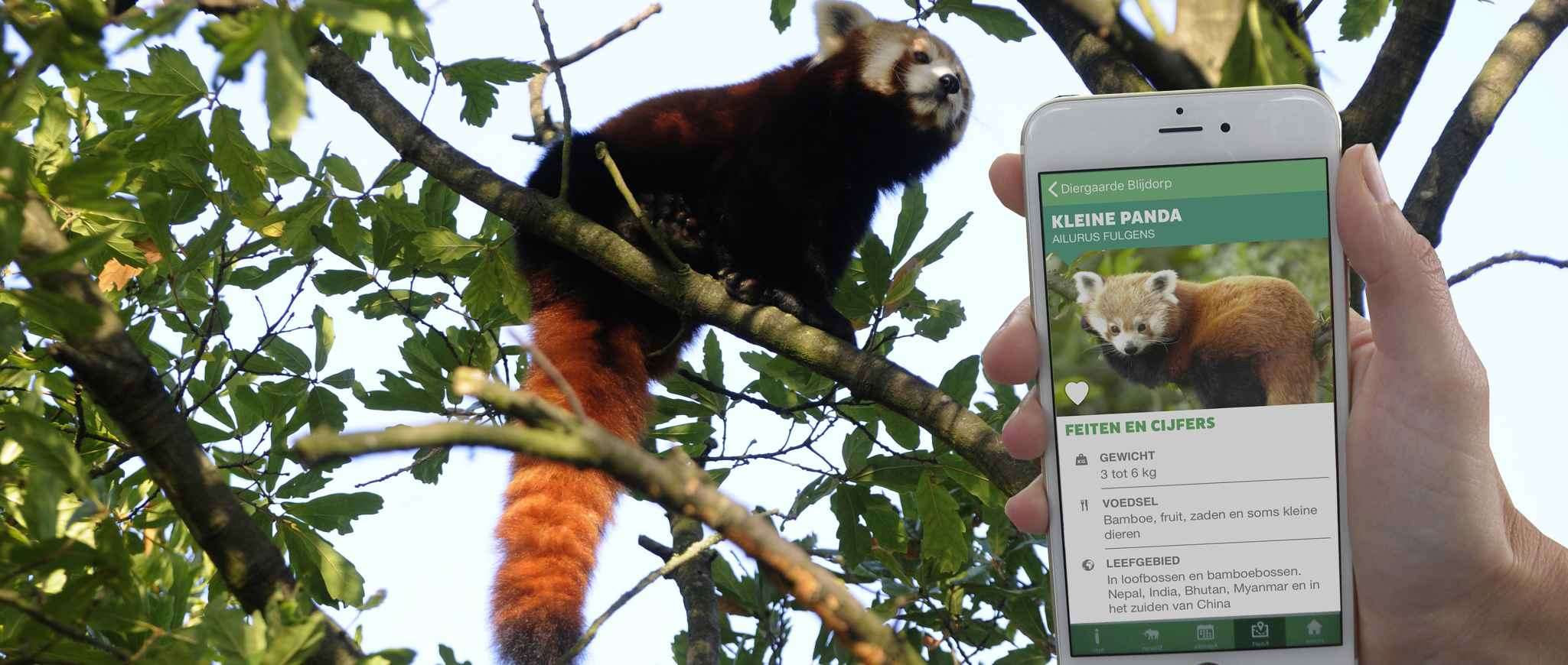 smartphone app and red panda