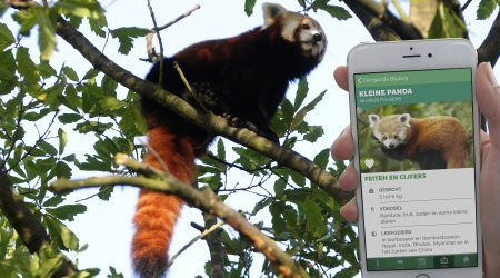 smartphone app and red panda