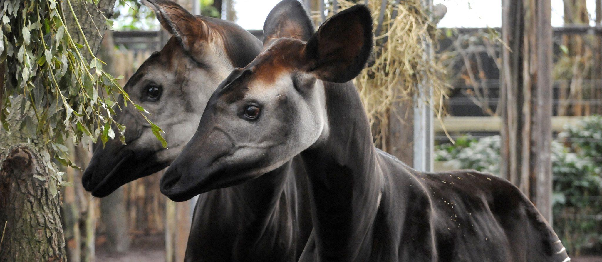 Okapis Return To Rotterdam Zoo Rotterdam Zoo