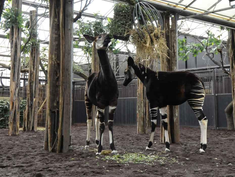 Okapi-blijdorp-004-pers