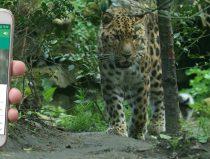 smartphone app amur leopard