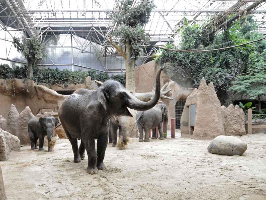 asian elephants in indoor habitat Rotterdam Zoo