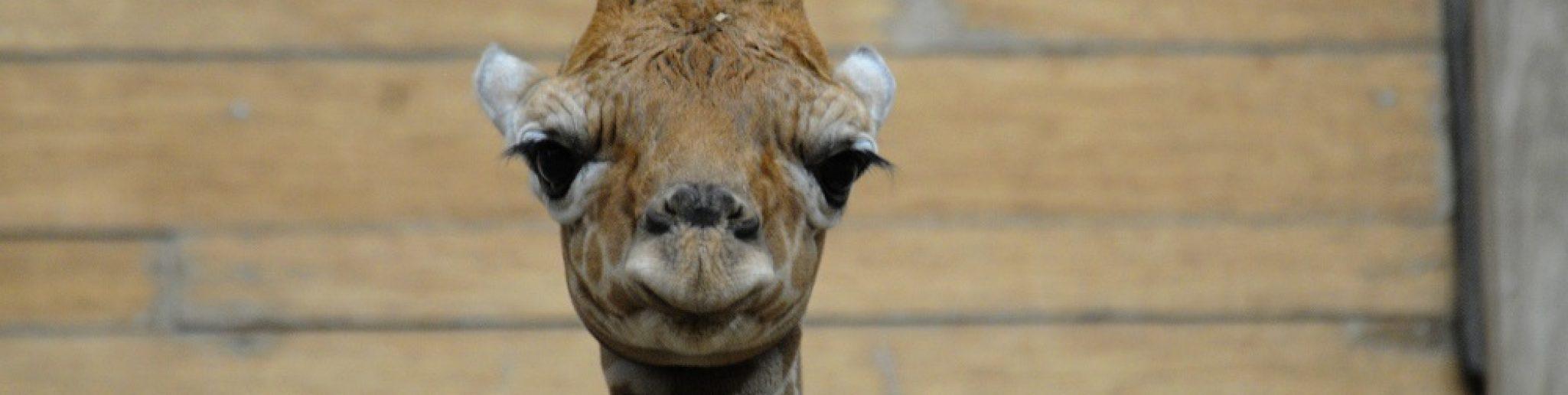 newly born giraffe