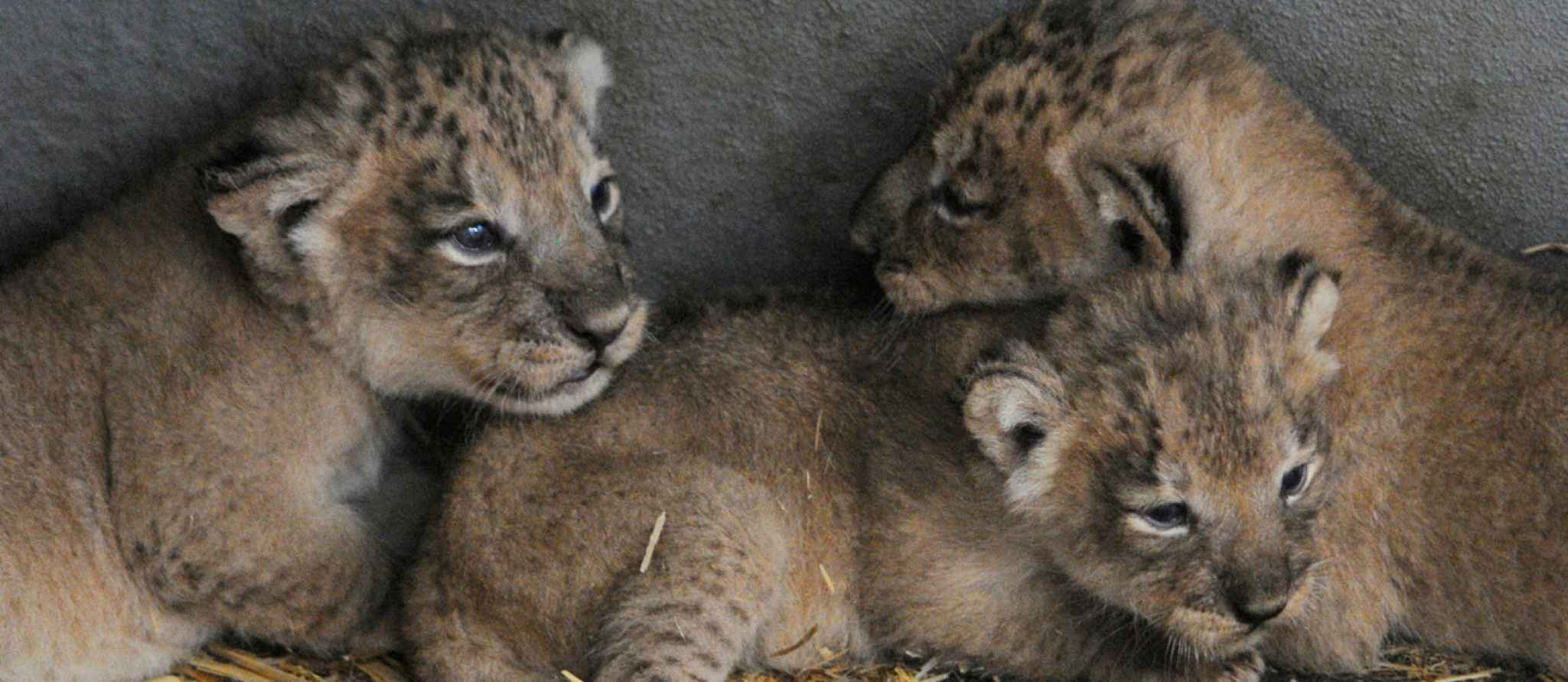 Image of: Critically Endangered Rare Cubs Born Webcam In Maternity Den Kullabs Rare Cubs Born Webcam In Maternity Den Rotterdam Zoo