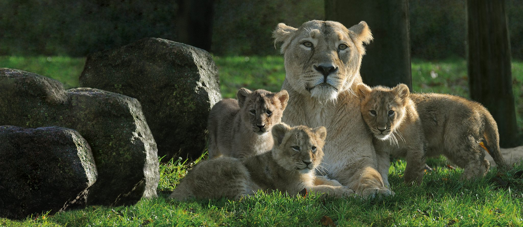 Image of: Beautiful Three Rare Asiatic Lion Cubs Blijdorp Three Rare Asiatic Lion Cubs Rotterdam Zoo