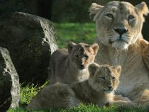 Asiatic lioness Lalana with her 3 cubs