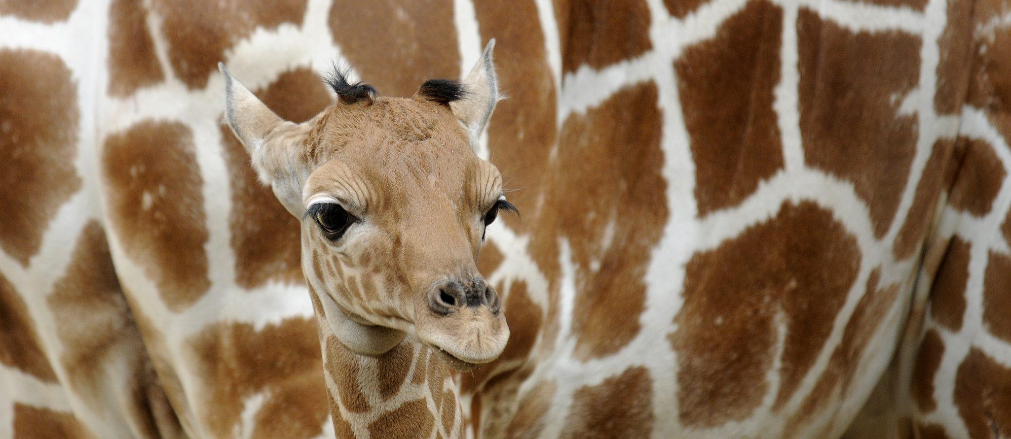 newborn giraffe khaleesi