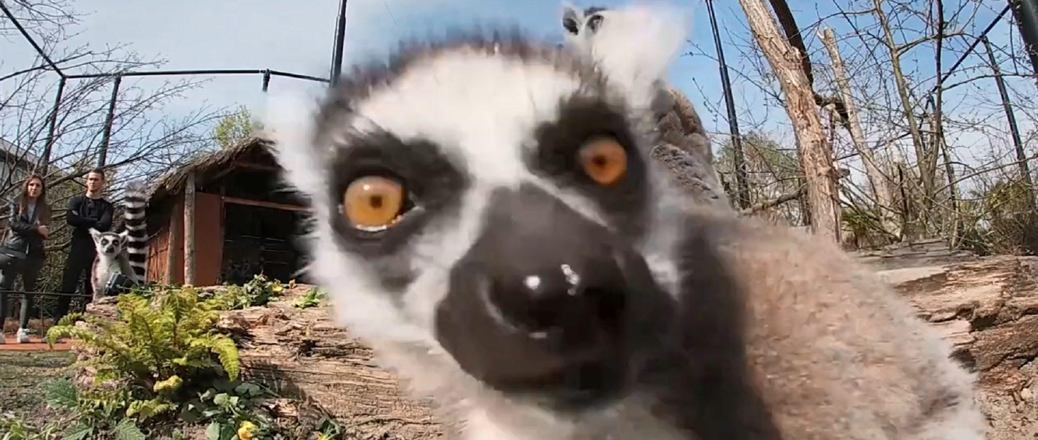 lemur looks curious at you