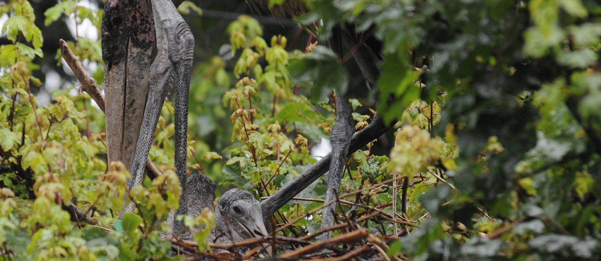 marabou stork chick
