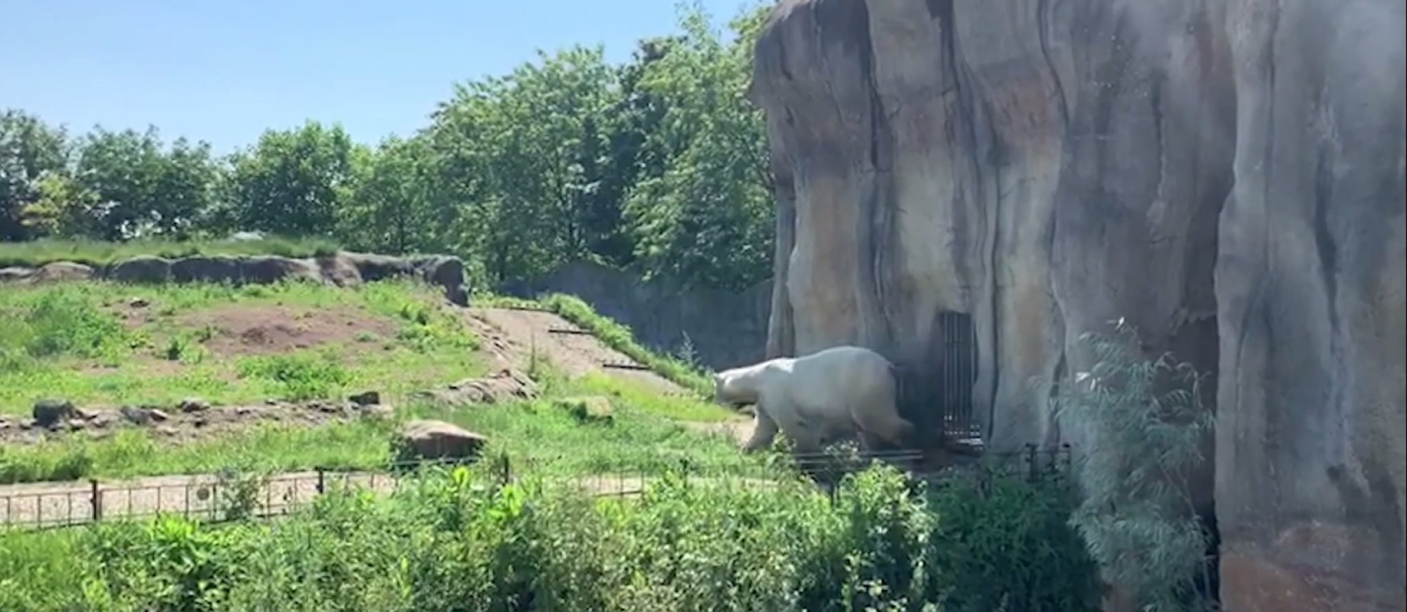 polar bear man Wolodja arrives in Rotetrdam Zoo
