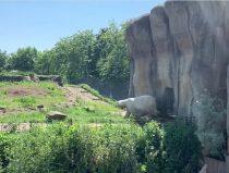 polar bear man Wolodja arrives in Rotetrdam Zoo