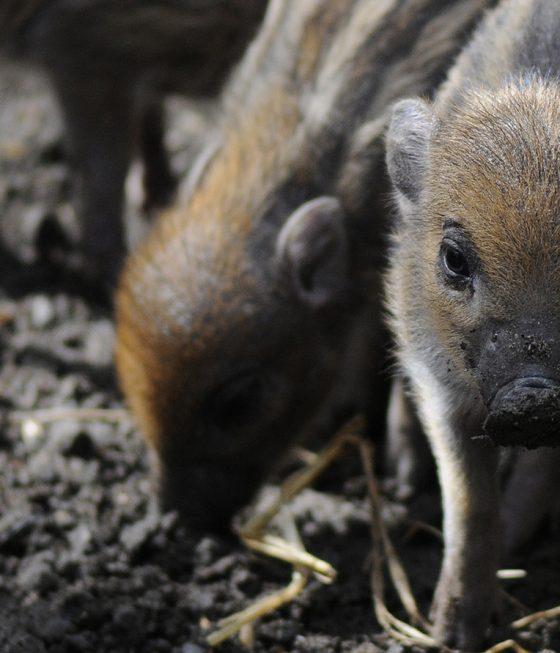 visaya piglets