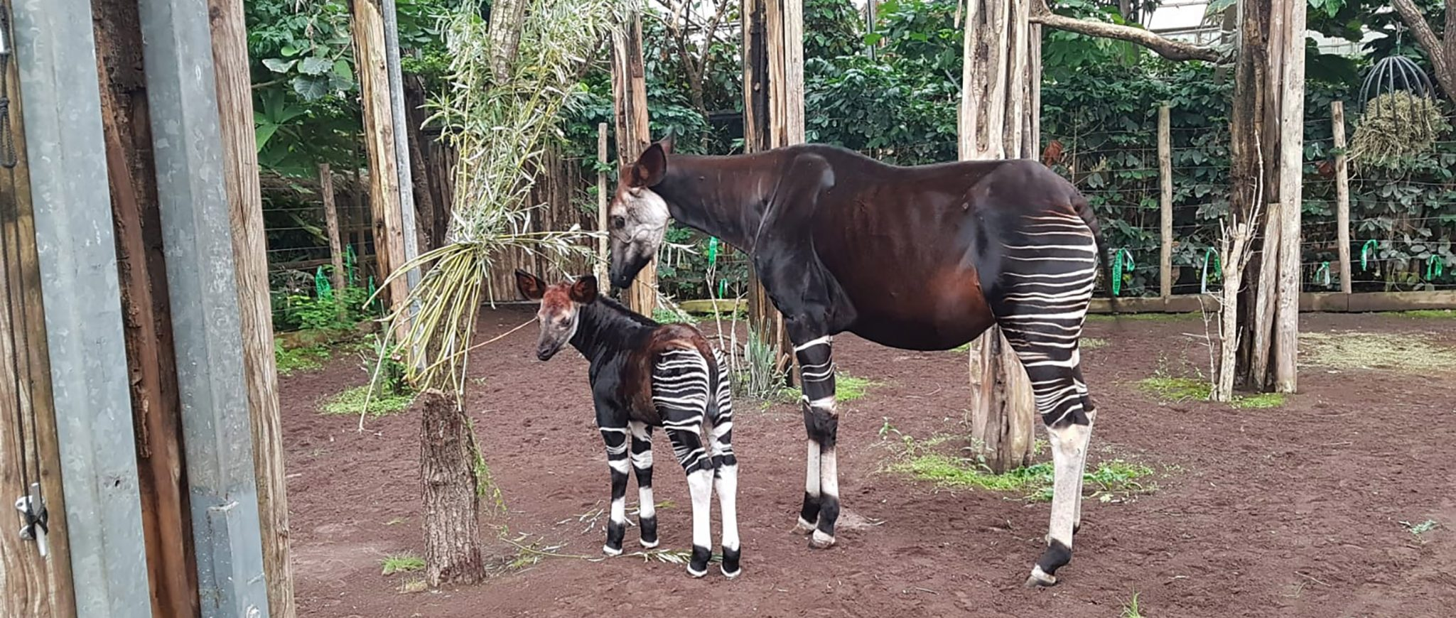 newborn okapi Kisala discovers enclosure