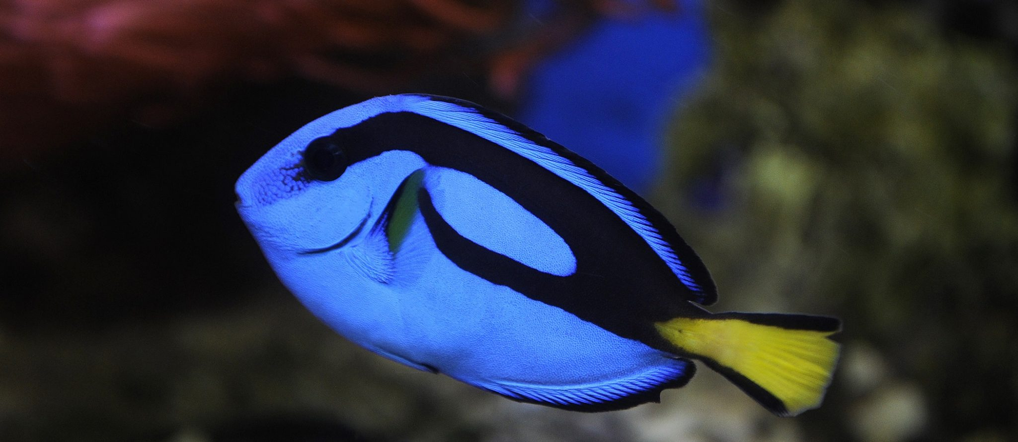 surgeonfish, picasso-doktersvis, Paracanthurus hepatus