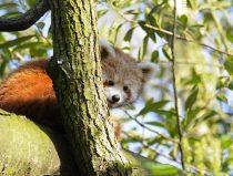 red panda kwina