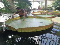 measuring the giant leaf of water lilly