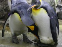 king penguins and chick
