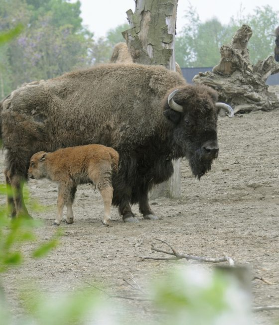 bison and newborn