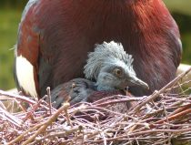 sclaters crowned pigeon chick on nest