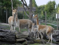 vicuna family is watching you