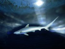 blacknose shark rotterdam zoo