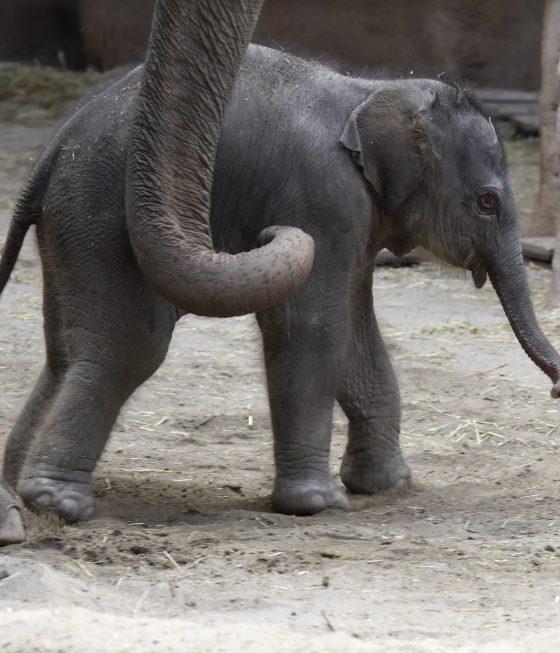 newborn asian elephant