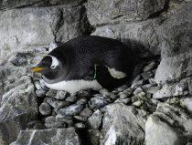 gentoo penguin broods