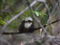 chick of the sumatran jaybird