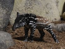 rare Malayan tapir newborn