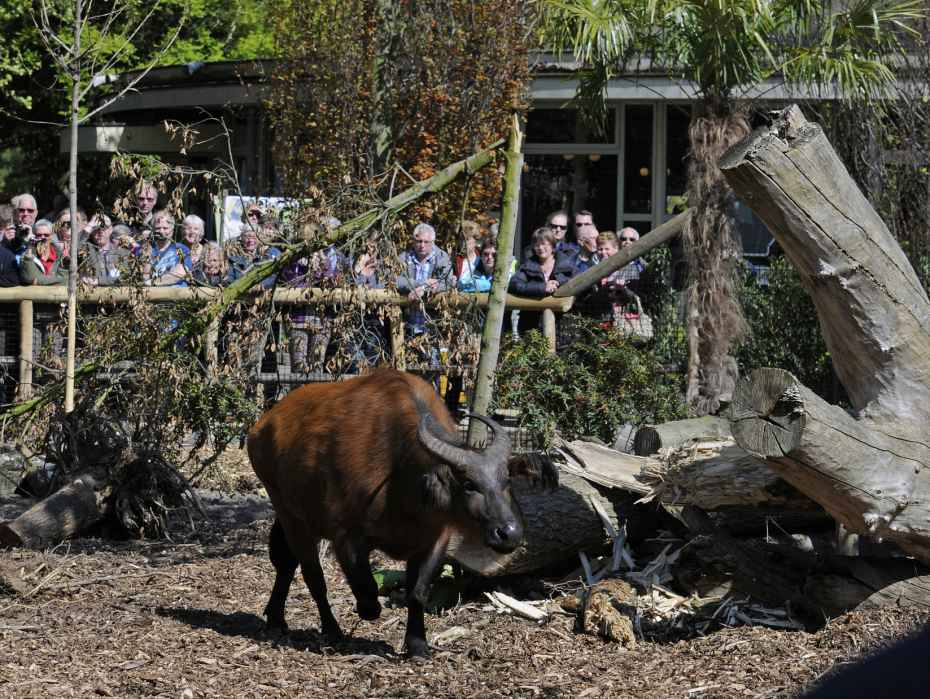 bosbuffels opening vrienden