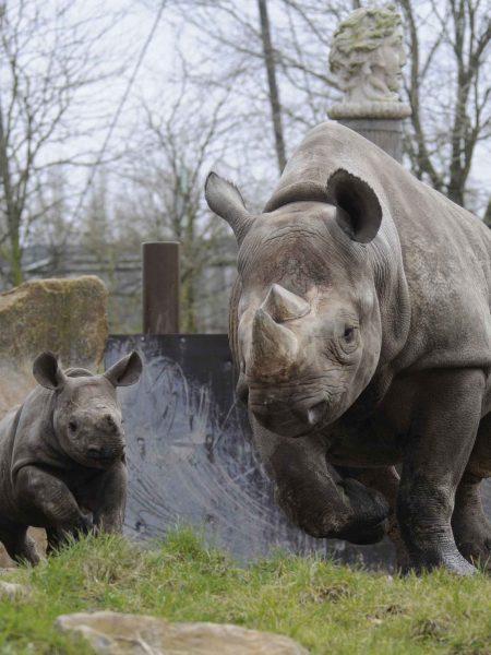 zwarte neushoorn Naima met dochter Mara