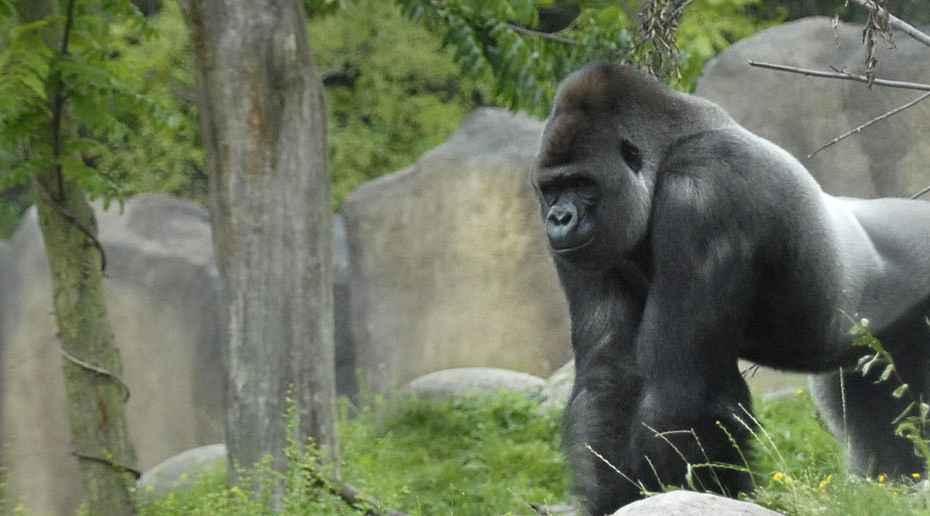 516 - gorilla bokito 2