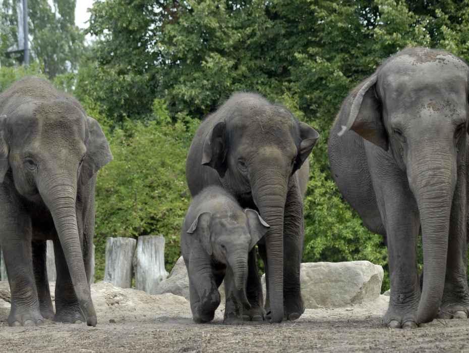 Aziatische olifant met jongTonya