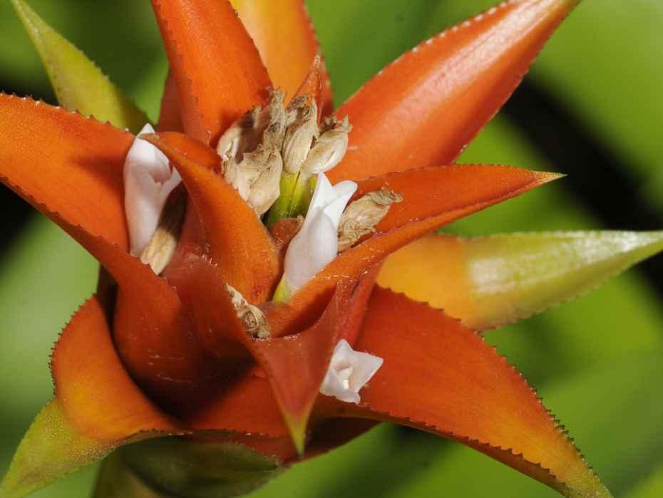 bromelia  botanisch b