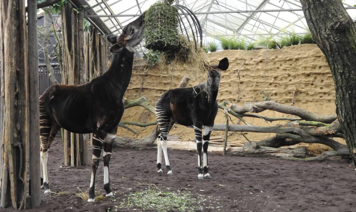 okapi okapi's in hun nieuwe verblijf April 2015