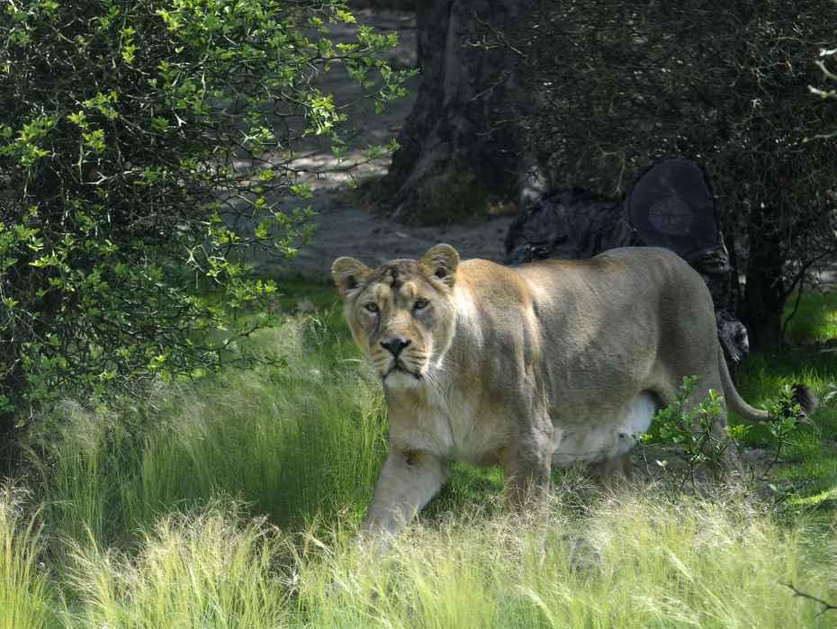 leeuw leeuwen