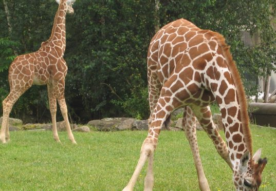 Een Gek Dier De Giraf: Diergaarde Blijdorp