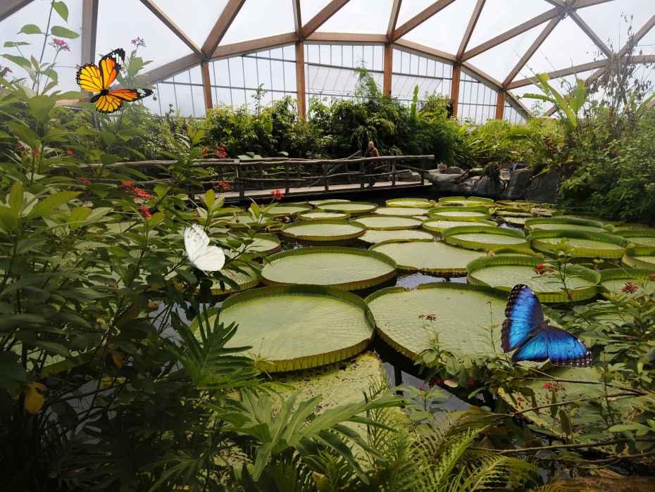 Vlinders in het overdekte vlinderparadijs Amazonica
