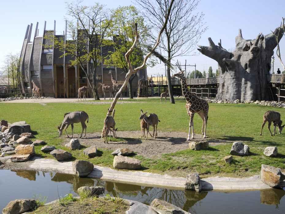 Afrika- Savanne met giraffen en koedoes Baobab- boom