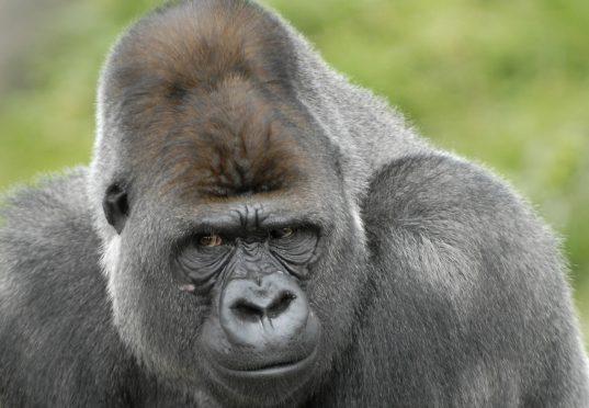 Gorilla Diergaarde Blijdorp