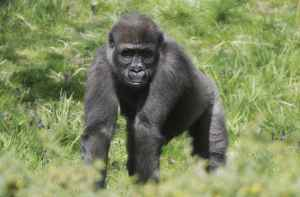 gorilla Ayba