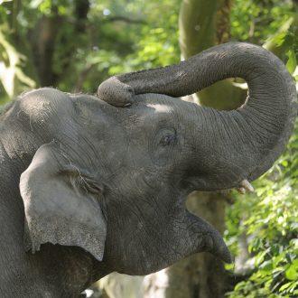 Aziatische olifantenbul Fahim steekt slurf omhoog