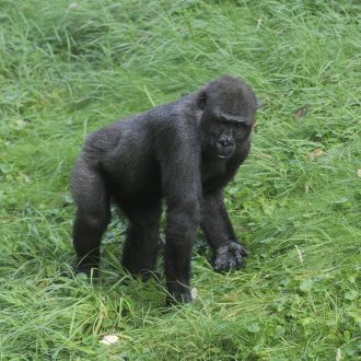 gorilla Thabo scharrelt in het gras
