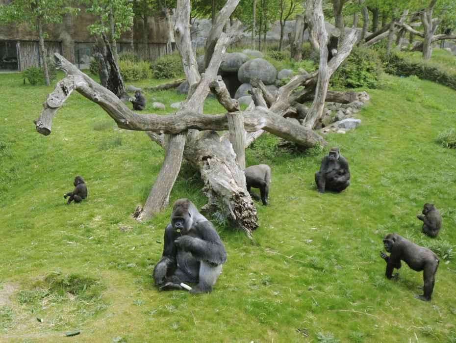 gorilla Bokito en zijn familie op het groene eiland