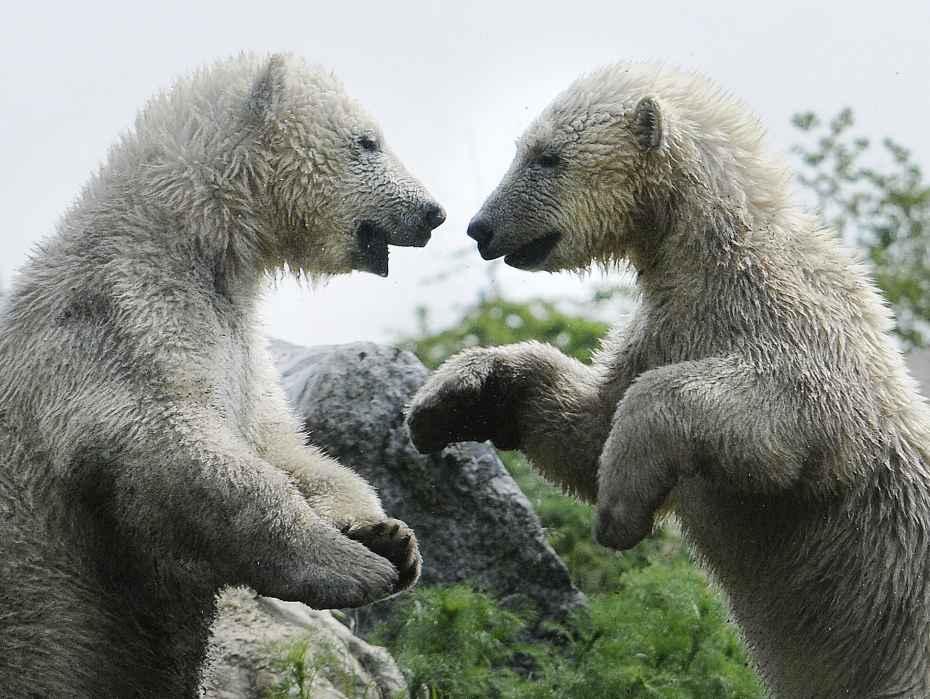 ijsbeertjesjuni2015