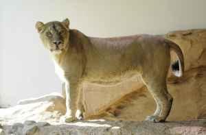 Lalana de Aziatische leeuwin
