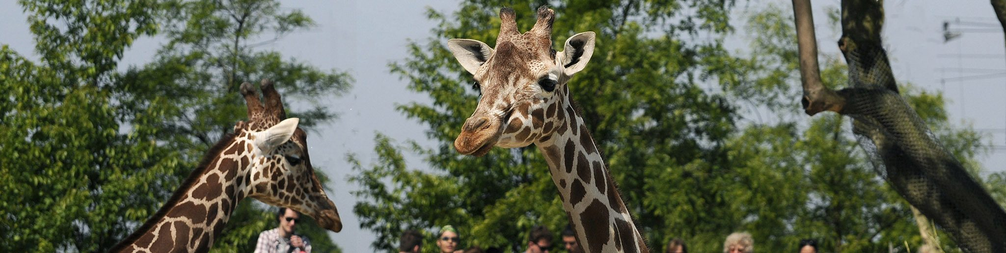 giraf kijkt in lens