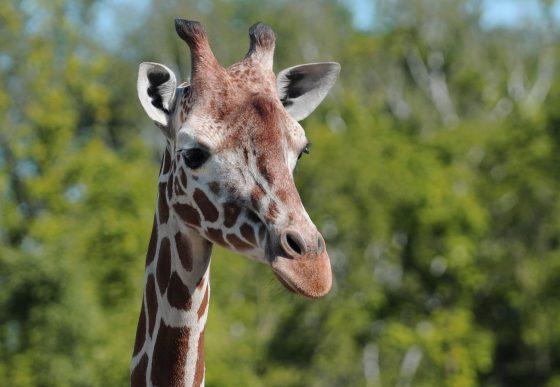 giraffe kijkt je aan